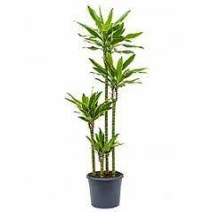 Драцена golden coast 100-75-50-25 Диаметр горшка — 29 см Высота растения — 160 см