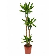 Драцена golden coast 105-60-20 Диаметр горшка — 24 см Высота растения — 150 см