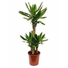 Драцена golden coast 60-20-20-20 Диаметр горшка — 21 см Высота растения — 90 см