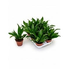 Драцена green jewel head Диаметр горшка — 12 см Высота растения — 27 см