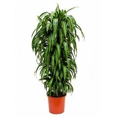 Драцена hawaiian sunshine branched Диаметр горшка — 32 см Высота растения — 150 см
