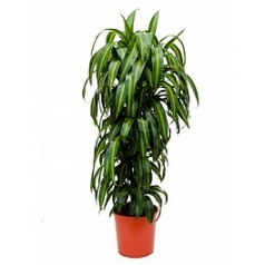 Драцена hawaiian sunshine branched Диаметр горшка — 27 см Высота растения — 110 см