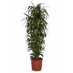 Драцена hawaiian sunshine branched Диаметр горшка — 34 см Высота растения — 170 см