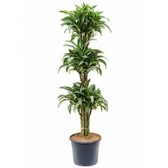 Драцена jade jewel 90-ballerina Диаметр горшка — 29 см Высота растения — 130 см