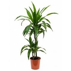 Драцена janet craig 45-15 Диаметр горшка — 19 см Высота растения — 90 см