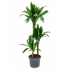 Драцена janet craig 60-30-15 Диаметр горшка — 23 см Высота растения — 90 см