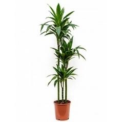 Драцена janet craig 90-60-30 Диаметр горшка — 24 см Высота растения — 135 см