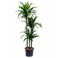 Драцена janet craig 90-60-30 Диаметр горшка — 26 см Высота растения — 140 см