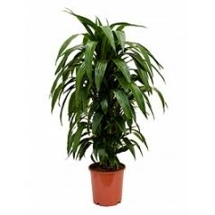 Драцена janet craig branched-multi Диаметр горшка — 24 см Высота растения — 100 см