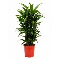 Драцена janet craig branched-multi Диаметр горшка — 27 см Высота растения — 105 см