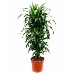Драцена janet craig branched-multi Диаметр горшка — 32 см Высота растения — 140 см