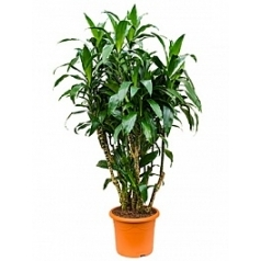 Драцена janet craig branched-multi Диаметр горшка — 40 см Высота растения — 190 см