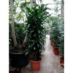 Драцена janet craig branched-multi Диаметр горшка — 40 см Высота растения — 180 см