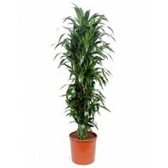 Драцена janet craig branched-multi Диаметр горшка — 34 см Высота растения — 170 см