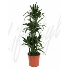 Драцена janet craig carrousel (6pp) Диаметр горшка — 32 см Высота растения — 155 см