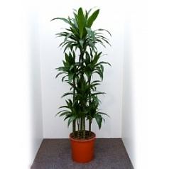 Драцена janet craig carrousel (8pp) Диаметр горшка — 34 см Высота растения — 180 см