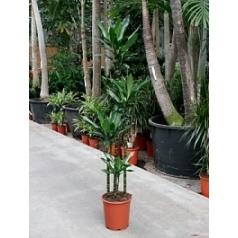Драцена janet lind 120-90-60-30 Диаметр горшка — 27 см Высота растения — 150 см