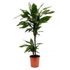 Драцена janet lind 45-15 Диаметр горшка — 19 см Высота растения — 85 см
