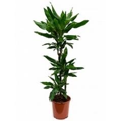 Драцена janet lind 60-30-15 Диаметр горшка — 21 см Высота растения — 100 см