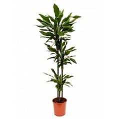 Драцена janet lind 90-60-30 Диаметр горшка — 24 см Высота растения — 150 см