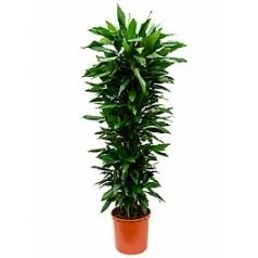 Драцена janet lind branched-multi Диаметр горшка — 34 см Высота растения — 185 см