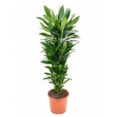Драцена janet lind branched-multi Диаметр горшка — 32 см Высота растения — 150 см