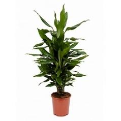 Драцена janet lind branched-multi Диаметр горшка — 21 см Высота растения — 80 см
