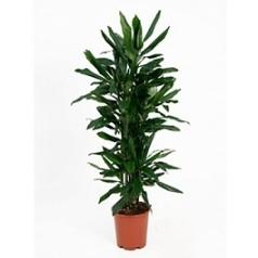 Драцена janet lind branched-multi Диаметр горшка — 24 см Высота растения — 90 см