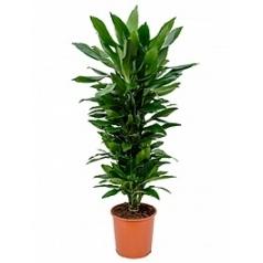 Драцена janet lind branched-multi Диаметр горшка — 27 см Высота растения — 110 см