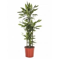 Драцена janet lind carrousel (6pp) Диаметр горшка — 32 см Высота растения — 140 см