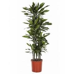 Драцена janet lind carrousel (8pp) Диаметр горшка — 34 см Высота растения — 170 см