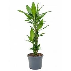Драцена janet lind carrousel Диаметр горшка — 23 см Высота растения — 80 см
