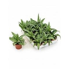 Драцена kanzi 1 head Диаметр горшка — 9 см Высота растения — 15 см