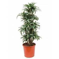 Драцена kanzi branched Диаметр горшка — 32 см Высота растения — 130 см