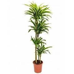 Драцена lemon lime 120-90-60-30 Диаметр горшка — 27 см Высота растения — 160 см