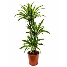 Драцена lemon lime 60-30-15 Диаметр горшка — 21 см Высота растения — 100 см