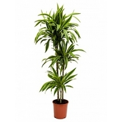Драцена lemon lime 90-60-30 Диаметр горшка — 24 см Высота растения — 130 см