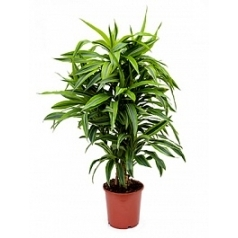 Драцена lemon lime branched-multi Диаметр горшка — 24 см Высота растения — 90 см