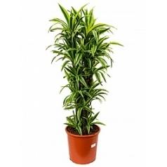 Драцена lemon lime branched-multi Диаметр горшка — 32 см Высота растения — 135 см