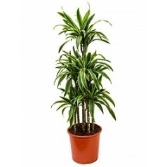 Драцена lemon lime carrousel (6pp) Диаметр горшка — 32 см Высота растения — 140 см