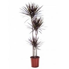 Драцена magenta 90-60-30 Диаметр горшка — 24 см Высота растения — 160 см