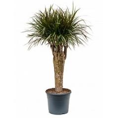 Драцена magenta stem extra Диаметр горшка — 31 см Высота растения — 130 см