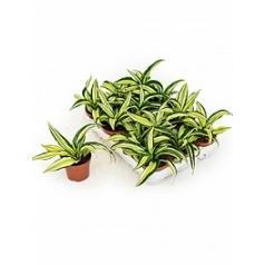 Драцена malaika 1 head Диаметр горшка — 9 см Высота растения — 15 см