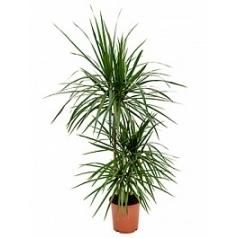 Драцена marginata 60-30-15 Диаметр горшка — 21 см Высота растения — 115 см