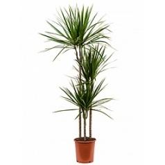 Драцена marginata 90-60-30 Диаметр горшка — 24 см Высота растения — 150 см