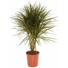 Драцена marginata branched Диаметр горшка — 24 см Высота растения — 100 см