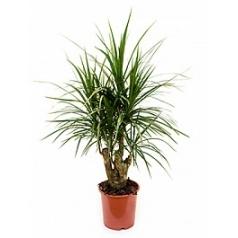 Драцена marginata branched Диаметр горшка — 21 см Высота растения — 75 см
