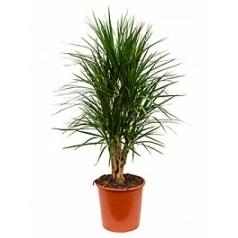 Драцена marginata branched Диаметр горшка — 27 см Высота растения — 120 см