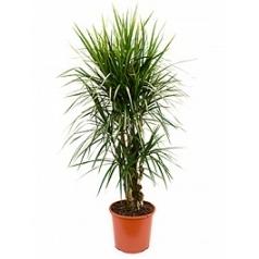 Драцена marginata branched Диаметр горшка — 32 см Высота растения — 160 см
