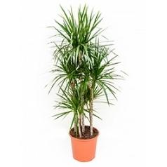 Драцена marginata carrousel (6pp) Диаметр горшка — 32 см Высота растения — 150 см